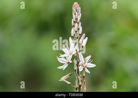 Close up of a white asphodel (asphodelus alba) flower in bloom with a green background - Stock Photo