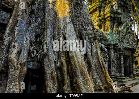 Tree roots covering a gallery at the 12thC Khmer temple Ta Prohm, a 'Tomb Raider' film location. Angkor, Siem Reap, Cambodia. - Stock Photo