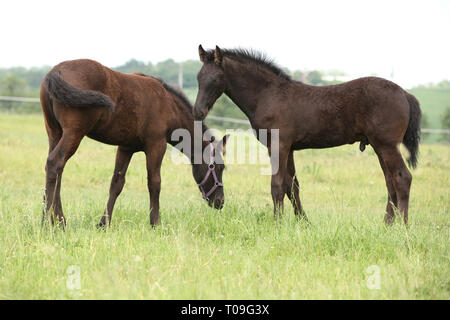 Two friesian foals standing on green pasturage - Stock Photo