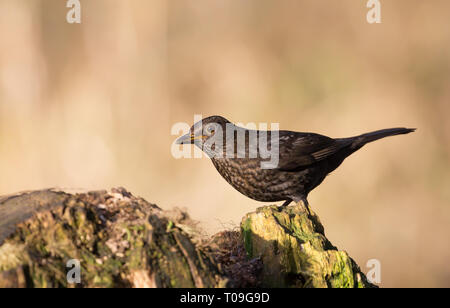 Detailed close up of single adult female common blackbird (Turdus merula) perched on tree stump, in winter morning sunlight, natural woodland setting. - Stock Photo