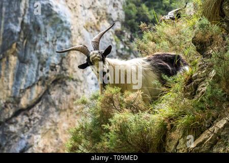 Mountain goat in the mountains of Picos de Europa, Spain - Stock Photo