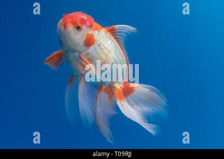 Oranda Goldfish (Carassius auratus) swimming in blue water enviroment - Stock Photo