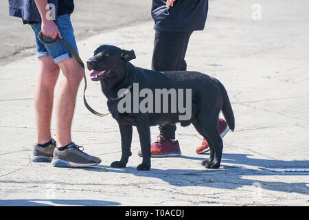 Black dog on a leash next to owner - Stock Photo