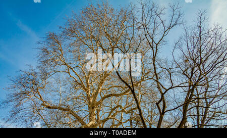 Branches of two trees without leaves against a blue sky in the background, wonderful sunny winter day in Meerssen south Limburg in the Netherlands - Stock Photo