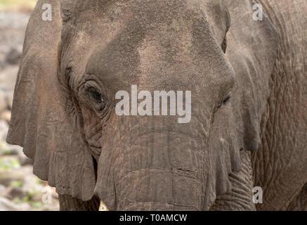 Close-up of an African Elephant, Loxodonta africana, in Lake Manyara National Park, Tanzania - Stock Photo