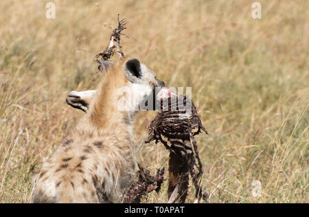A Spotted Hyena, Crocuta crocuta, carries the carcas of a Thomson's Gazelle, Eudorcas thomsonii, after it was killed and partially eaten by a Cheetah, - Stock Photo
