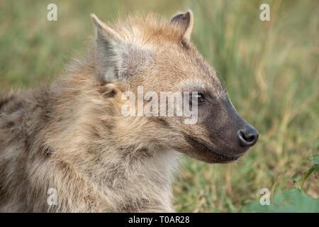 Juvenile Spotted Hyena, Crocuta crocuta, in the Trans Mara area west of Maasi Mara National Reserve, Kenya - Stock Photo