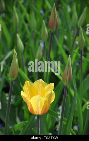 Single beautiful yellow tulip among many tulip buds in the field, selective focus - Stock Photo