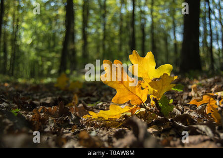 Twig with yellow oak leaves lying in the forest - closeup - Stock Photo