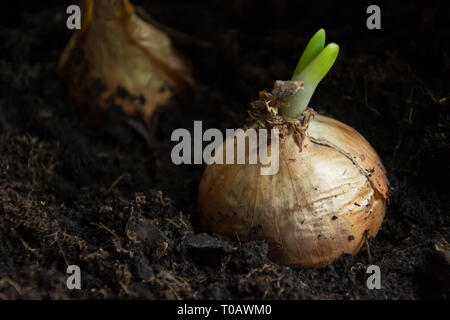 Germinated onion in the ground - closeup - Stock Photo