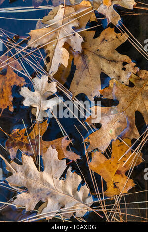 Close up at the autumnal fallen California black oak leaves on the water surface, Yosemite National Park, California, USA - Stock Photo
