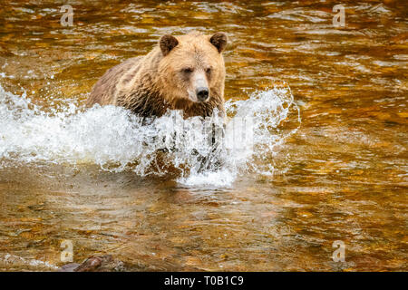 Grizzly Bear, or North American brown bear, Ursus arctos horribilis, hunting for salmon in river, Knight Inlet, British Columbia, Canada - Stock Photo