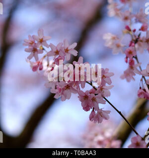 Cherry blossom close up sunny blue sky in spring Prunus pendula Rosea drooping rosebud blurred background copyspace - Stock Photo
