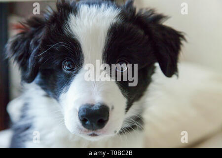 Funny portrait of cute smilling puppy dog border collie lay on pillow blanket in bed. New lovely member of family little dog at home lying and sleepin - Stock Photo