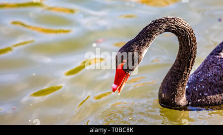 Beautiful close up of the head and neck of a black swan swimming in a pond, wonderful sunny day in Meerssen south Limburg in the Netherlands Holland - Stock Photo