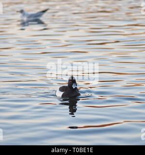 London, United Kingdom: Golden Eye duck on the lake in Hyde Park. - Stock Photo