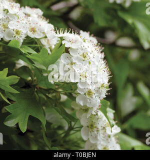 Common hawthorn crataegus monogyna shrub tree in bloom, wild white oneseed whitethorn blossom and leaves, blossoming flower heads, large detailed - Stock Photo