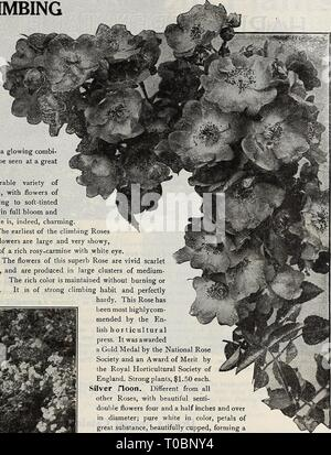 Dreer's garden book 1918 (1918) Dreer's garden book 1918 dreersgardenbook1918henr Year: 1918  Climbing Rosh Aviathur Blhriot (offered on page 174) mended by the En- lish horticultural press. It was awarded a Gold Medal by the National Rose Society and an Award of Merit by the Royal Horticultural Society of England. Strong plants, $1.50 each. Silver noon. Different from all other Roses, with beautiful serrJi- double flowers four and a half inches and over in diameter; pure white in color, petals of great substance, beautifully cupped, forming a Clematis-like flower. The large bunch of yellow st - Stock Photo
