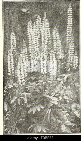 Dreer's garden book 1922 (1922) Dreer's garden book 1922 dreersgardenbook1922henr Year: 1922  LiATRis. (Offered on page 184) L u €jSm^P$l3 (Campion, Lamp Flower, etc.) All of the Lychnis are of the easiest culture, thriving in any soil, and this, in addition to their brightness, has brought them into high favor with lovers of hardy plants. Chalcedonica {Jerusalem Cross). A most desirable plant, heads of brilliant orange- scarlet in June and July; grows 2 to 3 feet high. Chalcedonica alba. A white-flowered form of above. Biaageana. Brilliant orange-scarlet flowers in May and June; 12 inches. Vi - Stock Photo