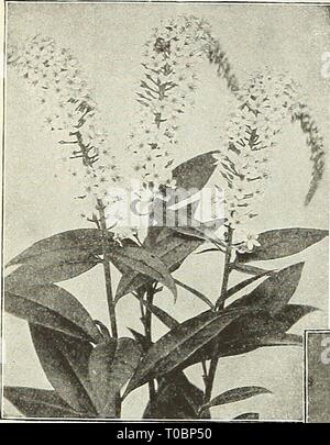 Dreer's garden book 1931 (1931) Dreer's garden book 1931 dreersgardenbook1931henr Year: 1931  188 Jil^AgRlKroMJtmMlliJfel^iikte^^    Lysimachia Clethroides Lychnis (Campion, Lamp Flower, etc.) Of the easiest culture, thriving in any soil, and this, in addition to their bright- ness has brought them into high favor with lovers of hardy plants. Chalcedonica {Jerusalem Cross). A most desirable plant, heads of brilliant orange-scarlet in June and July; grows 2 to 3 feet high. —Alba. A white-flowered form of above. Haageana. BriUiant orange-scarlet flowers in May and June, 12 inches. Viscaria Splen - Stock Photo