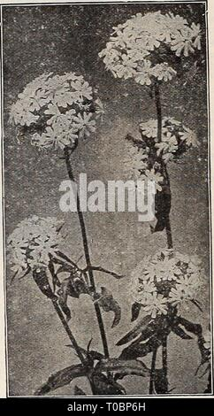 Dreer's garden book 1919 (1919) Dreer's garden book 1919 dreersgardenbook1919henr Year: 1919  L,YCHNIS (Campion) All of the Lychnis are of the easiest culture, thriving in any soil, and this, in additioa to their brightness, has brought them into high favor with lovers of hardy plants. Perhaps no class of plants has more common or popular names, of which the following is but a partial list: Campion, Jerusalem Cross, Lamp Flower, Maltese Cross, Ragged Robin, etc Arkwrighti. A cross between L. Haageana and Chalcedonica, growing 2j feet high, with very large circular flowers varying in color thro - Stock Photo