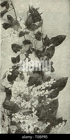 Dreer's garden book 1931 (1931) Dreer's garden book 1931 dreersgardenbook1931henr Year: 1931  200 /flEHiyAJREER.^ HARDY CLIMBING PLANTS >HlM(IEIiPMIk Celastrus Scandens (Bitter Sweet, or Wax Work) One of our native climbing plants, of rapid growth, with attractive light green foliage and j'ellow flowers during June, which are foOowed in the autumn with bright orange fruit. 50 cts. each; $5.00 per doz. Euonymus The trailing Euonymus are particularly desirable for their dense ever- green foliage and extreme hardiness, some varieties on account of this taking the place of the English Ivy for  Stock Photo