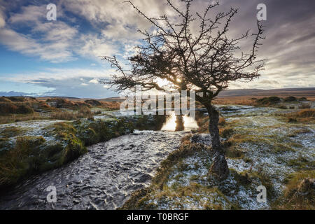A wind-gnarled hawthorn tree stands alone beside the River Teign, on Gidleigh Common, Dartmoor National Park, Devon, Great Britain. - Stock Photo