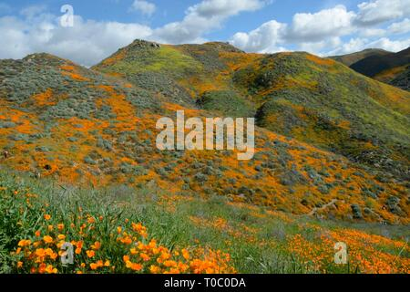 Super Bloom 2019 - California Poppies, fed by recent rains, are painting the now-closed Walker Canyon, Lake Elsinore, in a wave of color. - Stock Photo