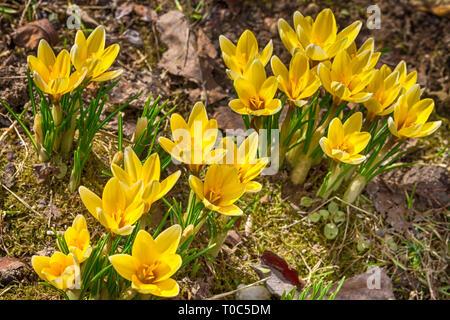 Yellow crocus growing through last year leaves - Stock Photo