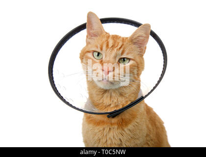 Portrait of an orange ginger tabby cat wearing an elizabethian collar to prevent self injury after surgery. Also called an e-collar or the cone of sha - Stock Photo