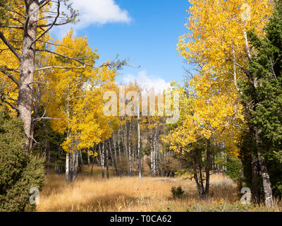 Grove of aspen trees and evergreen trees in autumn in Yellowstone National Park with blue sky and scattered white clouds above. - Stock Photo