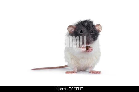 Cute grey and white dumbo rat sitting up facing front on hind paws. Holding a cat kibble in front paws and eating from it. Looking at lens. Isolated o - Stock Photo
