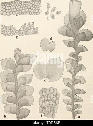 Dr L Rabenhorst's Kryptogamen-Flora von - Stock Photo