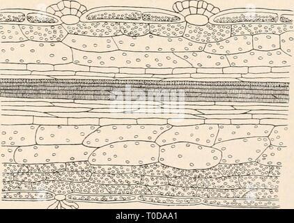 Elektrophysiologie (1895) Elektrophysiologie elektrophysiolog00bied Year: 1895  Seitenansicht eines Blattes von , die Nervatur darstellend. (Nach F. Kurtz.) Fig. 141. Querschnitt durch die Lamina eines Dionaea- hlattes parallel den Seitennerven. (Nach F. Kurtz.)    m^ Zellen, und auf diese folgt schliesslich die Epidermis der Blattunter- seite' (F. Kurtz). An der Stelle, wo ein sensibles Haar entspringt, durchbricht das Blattparenchym die Epidermis der Blattinnenfläche. Die der Epidermis - Stock Photo