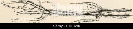Elektrophysiologie (1895) Elektrophysiologie elektrophysiolog00bied Year: 1895  Die Nerven und ihre physiologische Function. 471 Bei den Muskelnerven des Krebses zeigt die Nervenscheide sowohl grösserer Stämmchen wie an den Stellen, wo Axencyliuder einzeln verlaufen, schon im frischen Zustande, besonders aber nach Gold- behandlung einen überaus deutlich geschichteten Bau, und es erinnert stellenweise das Bild der sehr mächtig entwickelten, reichlich mit Kernen durchsetzten Bindegewebshülle an die Kapsel der Pacinischen Körperchen (Fig. 150). Eine ähnliche concentrische Schichtung zeigt die Ner - Stock Photo
