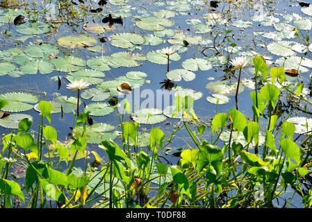 White Lotus flower in pond, Bhadeli, Valsad, Gujarat, India, Asia - Stock Photo