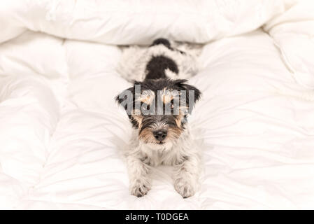 Funny small Jack Russell Terrier dog  is lying and sleeping in a bed - Stock Photo