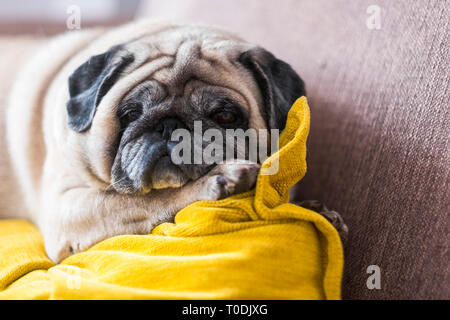 Lazy and relaxed carlino pug dog lying down with pillow on the sofa. - Stock Photo