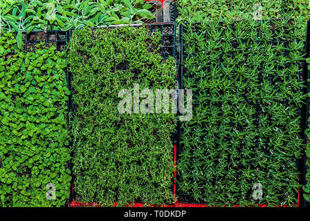 Cassettes for seedling aromatic herbs savory, rosemary and mint in a greenhouse under additional lighting. - Stock Photo