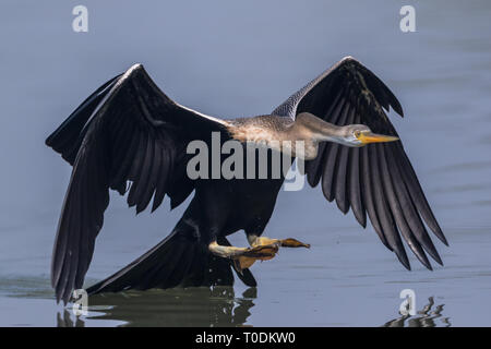 The Oriental darter or Indian darter (Anhinga melanogaster) catching and eating the fish in the lake at Bharatpur Bird Sanctuary, Rajasthan, India - Stock Photo