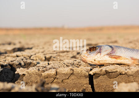 Closeup of died Fish in a dried up empty reservoir or dam due to a summer heatwave, low rainfall, pollution and drought in north karnataka,India. - Stock Photo