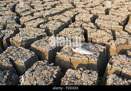 Closeup of died Fish in a dried up empty reservoir or dam due to a summer heatwave, low rainfall, pollution and drought in north karnataka,India - Stock Photo