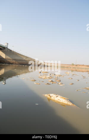 Closeup of died Fishes in a dried up empty reservoir or dam due to a summer heatwave, low rainfall, pollution and drought in north karnataka,India - Stock Photo