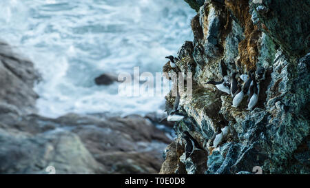 Hard life on the world edge. Colony of seabirds (guillemots and razorbills) on the cliff wall. - Stock Photo