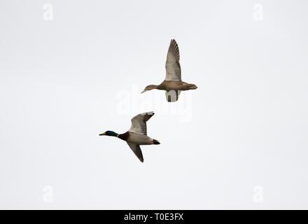 Male and female Mallard duck - Stock Photo