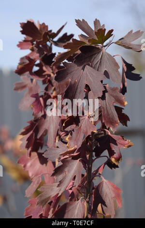 Reddened leaves of golden currant. Autumn leaf color. Currants in the garden in autumn - Stock Photo