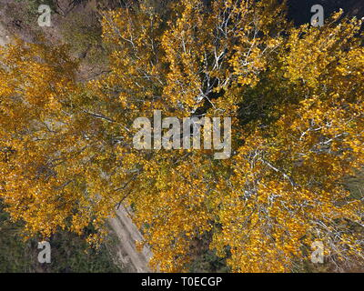 Yellow leaves on a silver poplar, top view of a poplar tree in the fall. - Stock Photo