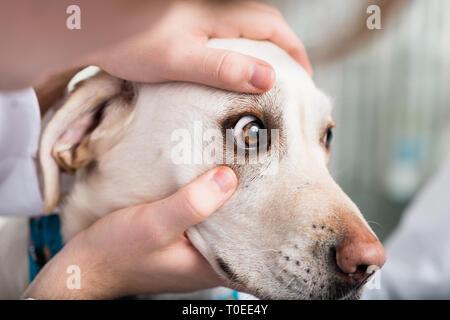Veterinarian checking dog's eye - Stock Photo