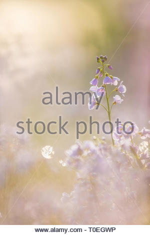 Lady's Smock / Cuckoo Flower (Cardamine pratensis), England - Stock Photo