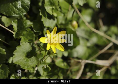 Ficaria verna verna or celandine, yellow spring flowers - Stock Photo